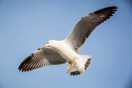 gulls: seagull is flying in the blue sky Stock Photo