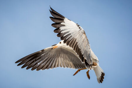seagull is flying in the blue sky photo