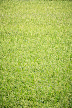widespread: widespread green paddy in thailand