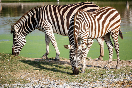 zebra eating grass in the zoo Stock Photo
