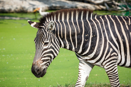 zebra walking in the zoo photo