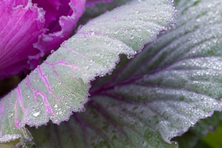 green and purple: the frost flower of vegetables in the winter Stock Photo