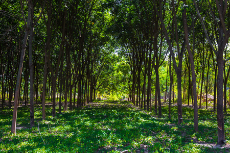 aisa: rubber tree farm in aisa
