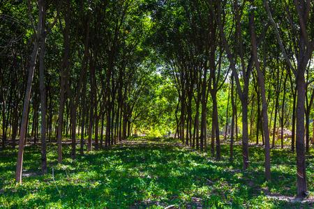 aisa: rubber tree farm in aisa