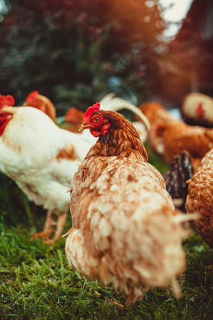 A small flock of mixed free-range chickens feeding outdoors Stock Photo