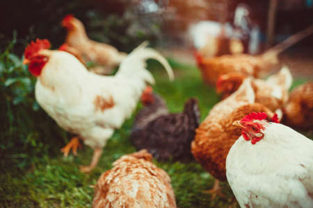 야외에서 먹을 수있는 혼합형 닭의 작은 무리