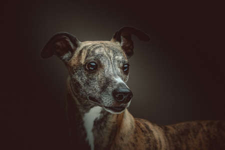 Cute Whippet Dog. Studio shot. Moody dark lighting, dark background. Archivio Fotografico