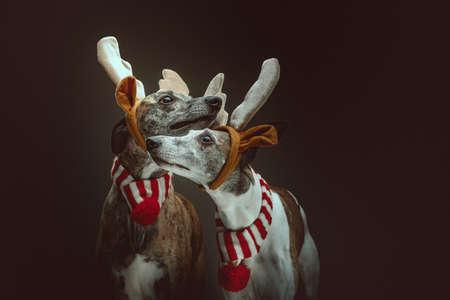 Two Whippets dressed up for Christmas. Studio shot. Moody dark lighting, dark background.