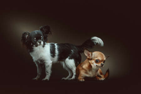 Two Cute Chihuahua Dogs. Studio shot. Moody dark lighting, dark background.