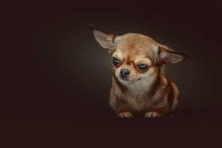 Adorable Chihuahua Dog. Studio shot. Moody dark lighting, dark background.