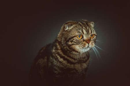 Scottish Fold Shorthair cat. Studio shot. Moody dark lighting, dark background.