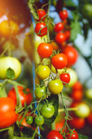 Natural tomato greenhouse. Beautiful red ripe and green tomatoes grown in a greenhouse Standard-Bild