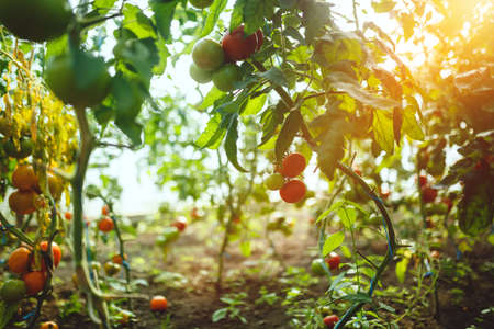 Natural tomato greenhouse. Beautiful red ripe and green tomatoes grown in a greenhouse