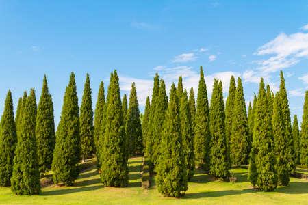 abound: pine tree field under blue sky