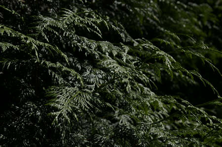 Nature background of evergreen spruce or fir branches in woodland catching the sunlight Stock Photo