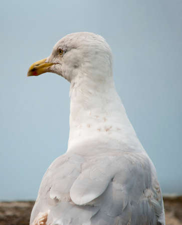 Close up view of the head of a seagull in profile viewed across its back showing feather detail against blue sky Stock Photo