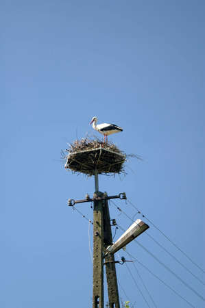 White Stork Ciconia ciconia Sitting In his nest