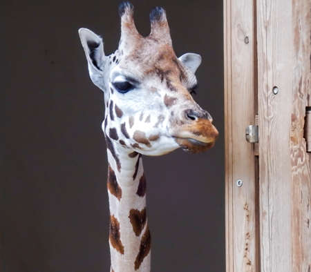 Head of giraffe looking for visitoras in zoo