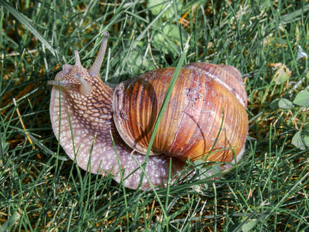 Macro of Snail in its natural enviroment eating green grass