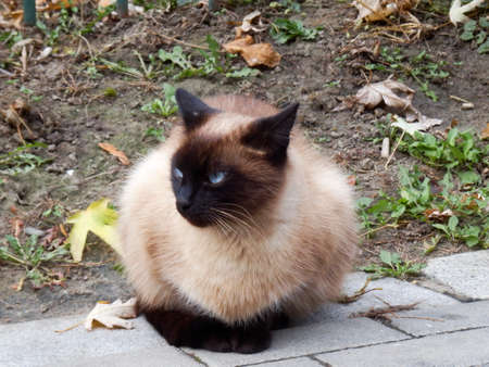 Light brown cat with blue eyes standing on the sidewalk