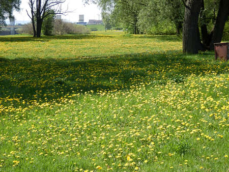 Dandelion meadow with yellow dandelion flowers, green grass and urban backdrop.