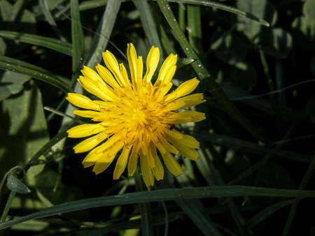 Closeup of a dandelion in a meadow of grass.