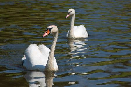 Two swans swim on river or lake toward us Stock Photo