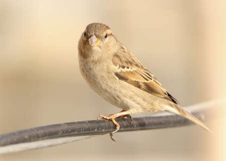 domesticus: House Sparrow Passer domesticus