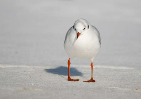 ridibundus: Black-headed gull Chroicocephalus ridibundus  seagull on snow