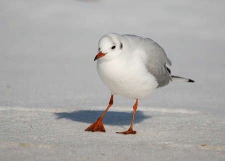 chroicocephalus: Black-headed gull Chroicocephalus ridibundus  seagull on snow