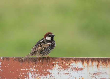 passer by: Male Spanish Sparrow (Passer hispaniolensis) on metal bar