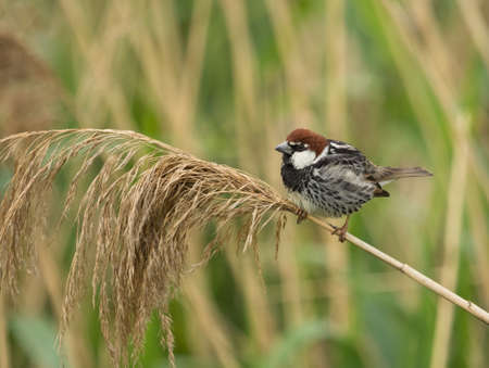 passer by: Male Spanish Sparrow (Passer hispaniolensis) on reed branch Stock Photo