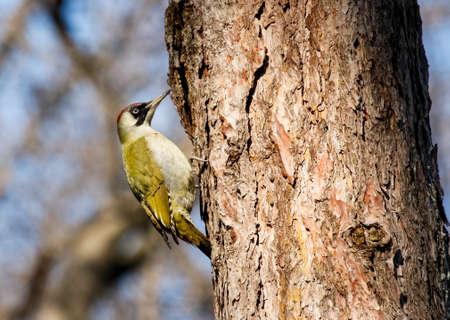 viridis: European Green Woodpecker (Picus viridis)