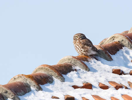 athene: Little Owl (Athene noctua) on a snowy roof.