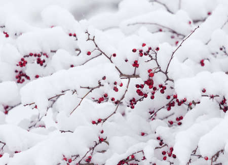 Snow on briar bush