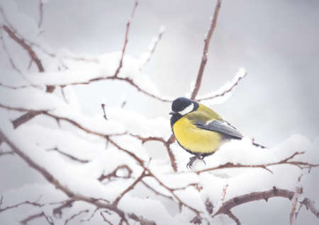Great Tit perching on snow branch in winter forest