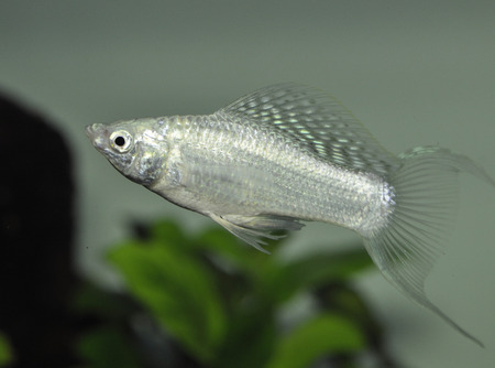 Fish Silver Molly (poecilia sphenops) in freshwater aquarium Stock Photo