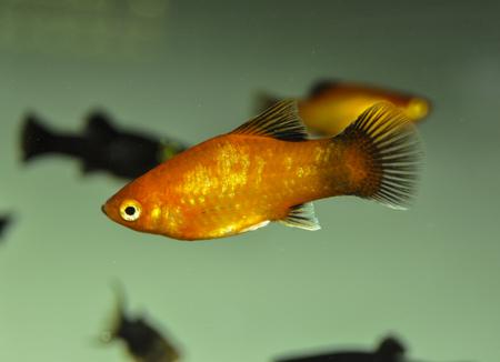 Platy (Xiphophorus makulatus) in freshwater aquarium
