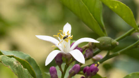 bee on flower: lemon flower and bee Stock Photo