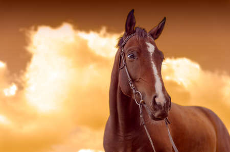 wartime: Brown horse and golden sky Stock Photo
