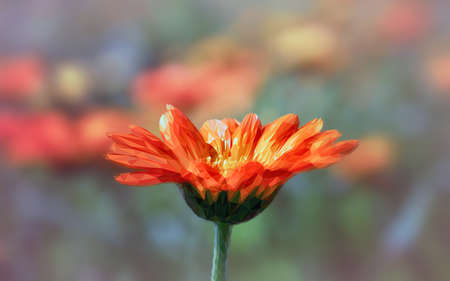 gently: Beautiful calendula in the triangulation in the photo. Spring. Summer. Bright. Blooming. Art. Stock Photo