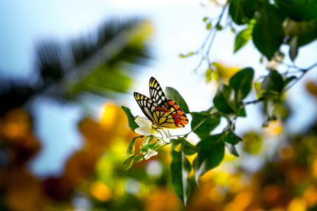 alight: butterfly is alighted on flower of murraya, exotica