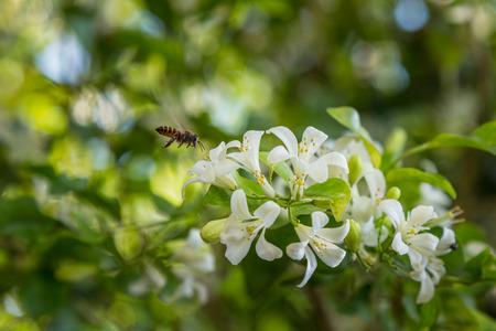 buss: bee is alighting on flower of murraya exotica Stock Photo