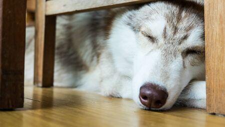 siberian: Siberian husky sleeping Stock Photo