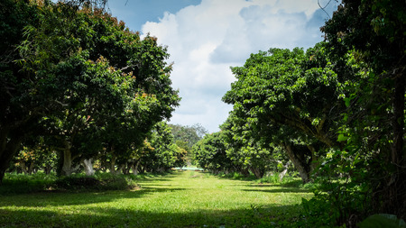 litchi: Walkway in green litchi tree farm