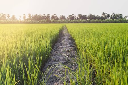 Soil path between rice fields in the morning 免版税图像