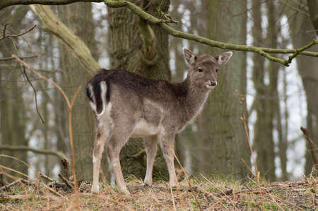 fallow deer: fallow deer in the Amsterdamse waterleidingduinen