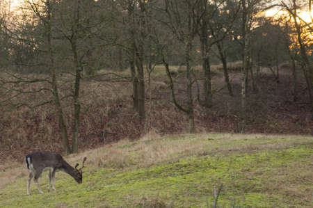 fallow deer: fallow deer in the Amsterdamse waterleidingduinen