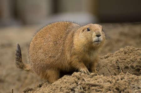 prairie dog: A prairie dog looks alert