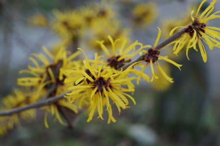hazel branches: flowers of Chinese witch hazel